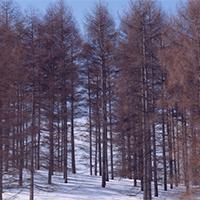 冬天树木丛生雪白美景唯美图片